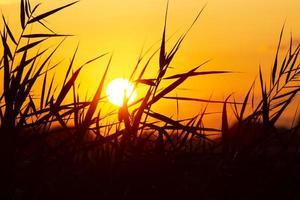 vass mot bakgrund av en solig solnedgång foto
