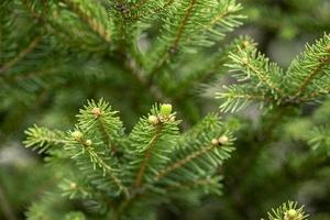 närbild av grangrenar som växer i skogen foto