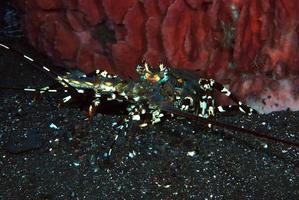 utsmyckad taggig hummer som lever under en svamp. foto