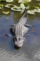 amerikansk alligator, alligator mississippiensis foto