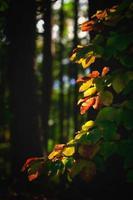 höstlöv i skogen upplyst av solen foto