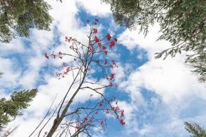 karakteristiskt bergsträd med röda bär. sorbus aucuparia, foto