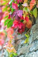 höstens färgade blad foto