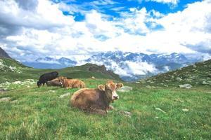 några kor som betar på ängarna i de schweiziska alperna foto