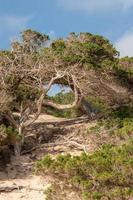 träd som kallas savina på formentera -stranden i calo d es mort foto