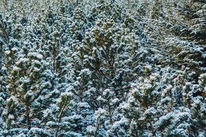 gröna grenar av gran eller tall täckta med snö foto