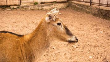 en kvinnlig rådjur i djurparken. rådjur på en bakgrund av sand foto