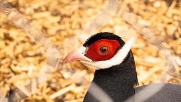 vitörad fasan i en bur. fåglar i djurparken eller gården foto