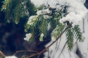 gröna grenar av gran eller tall är vacker vit snö foto