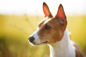 nosparti röd basenji hund foto