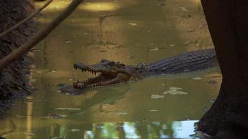 observera krokodiler i det asiatiska träsket foto