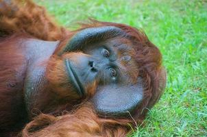 orangutang som ligger på gräs foto
