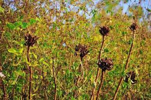 torkade svarta blommor i vildmarken foto