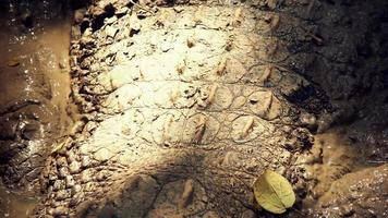 träskkrokodil täckt av torr lera foto