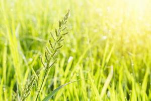 gräsblomma och grön naturlig bakgrund med flare foto