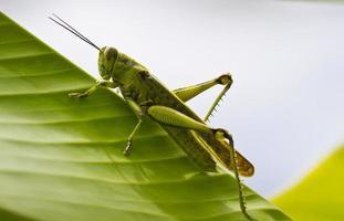 gräshoppa på bladet foto