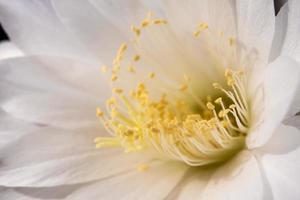 vit färg bräckligt kronblad av echinopsis kaktusblomma foto
