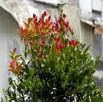prydnadsväxt med vackra röda blommor och färska gröna blad foto