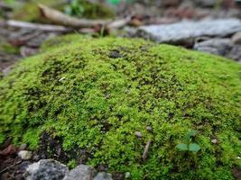 vacker grön mossa på golvet, makro foto