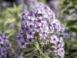 närbild av blommor av phlox paniculata norah leigh foto
