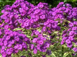 närbild av blommor av phlox paniculata harlekin foto