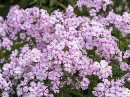 närbild av blommor av phlox paniculata upptäckt foto