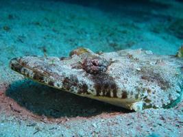 krokodilfisk på havsbotten i det röda havet foto