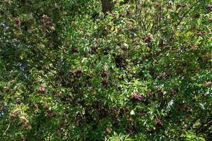 svart fläder sambucus vid en fläderbuske foto