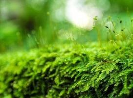 sporofyt av grön mossa med vattendroppar som växer i regnskogen foto