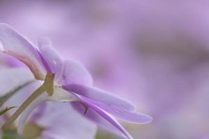 rosa impatiens blommor närbild skott foto