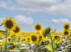 vackra solrosor i fältet, naturlig bakgrund. foto