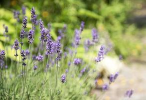 violetta lavendelblommor foto