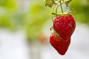 jordgubbar på gården foto