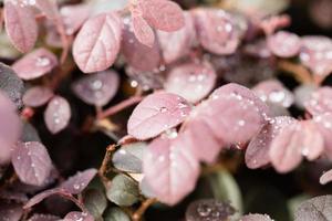 daggdroppar på röda blad i morgonsolen foto
