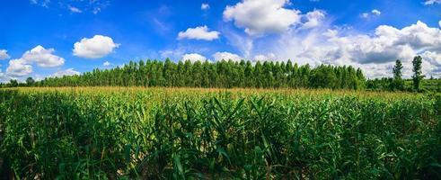 majsfältvy av jordbruket foto