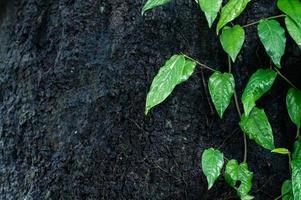 blad bakgrund murgröna grön foto