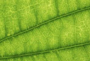 grönt blad textur bakgrund. närbild. naturkoncept foto