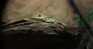 stående dag gecko foto