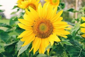 närbild av solrosor och gul blomma på parkmarken foto