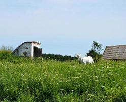 vit liten get med horn som tittar i grönt gräs foto