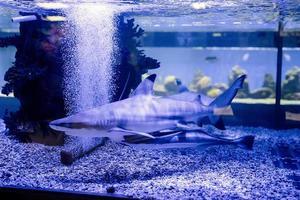 undervattensbild av små hajar som simmar i akvarium i oceanarium foto