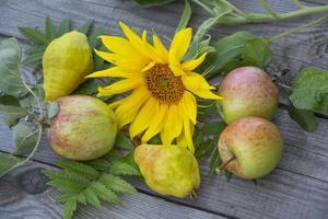 stilleben med äpplen, päron och en solrosblomma foto