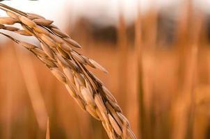 ris och risfrön i gården, ekologiskt risfält och jordbruk. foto
