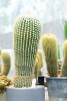 gröna kaktusar i krukor foto