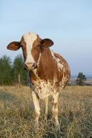 närbild av vacker brun och vit prickig holländsk ko foto