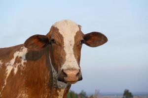 vacker brun och vit prickig holländsk ko foto