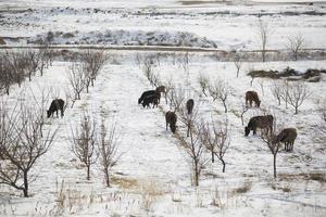 angus ko som betar i snön foto
