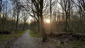 solnedgång i skogen. solstrålar mellan träden, Tyskland. foto