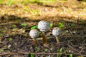 ungt svampparaply i skogen foto