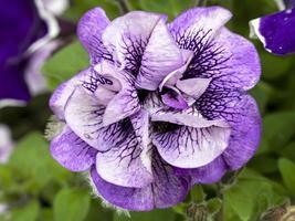 härlig petunia viva dubbel lila venblomma foto